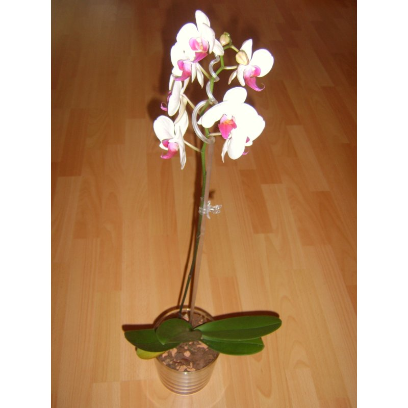 seramis orchideen granulat 7 0 liter 9 95 hydrokultur spezi. Black Bedroom Furniture Sets. Home Design Ideas