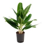 Aglaonema 'King of Siam'