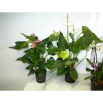 Anthurium - Flamingoblume Anthurie