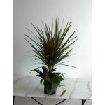 Dracaena Arrangement