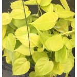 Philodendron scandens  'Lemon'