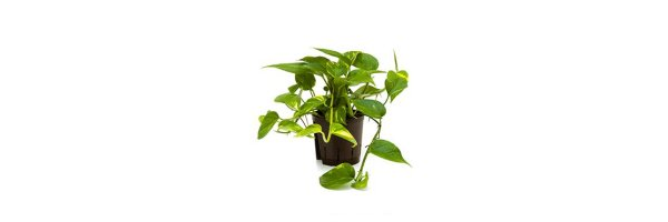 Epipremnum pinnatum 'Aureum' - Efeutute