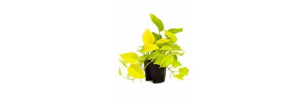 Epipremnum pinnatum 'Golden Pothos'