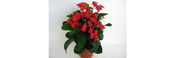 Euphorbia milii - Christusdorn