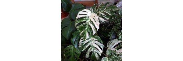 Monstera deliciosa 'Variegata' - panaschiertes Fensterblatt grün-weiß