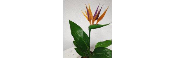 Strelitzia - Paradiesvogelblume