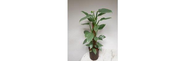Philodendron hastatum 'Silver Queen'