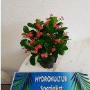 Euphorbia-milii ( Ø 13/12 ) - Christusdorn