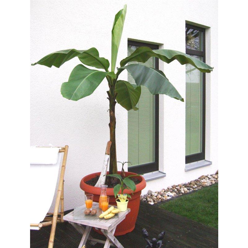 musa basjoo winterharte banane hydrokultur spezialist. Black Bedroom Furniture Sets. Home Design Ideas