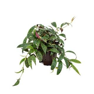 Aeschynanthus marmoratus ( Ø 13/12 )