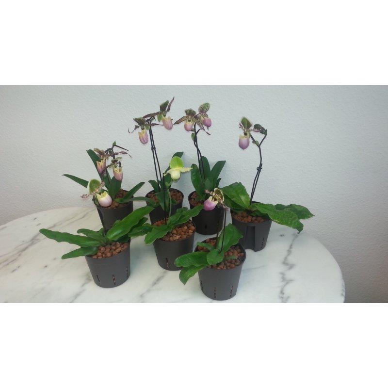 frauenschuh orchidee 13 12 gr ne revolverbl te. Black Bedroom Furniture Sets. Home Design Ideas