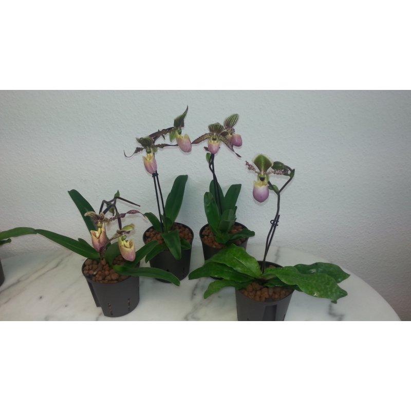 frauenschuh orchidee 13 12 rosabraune revolverbl te. Black Bedroom Furniture Sets. Home Design Ideas