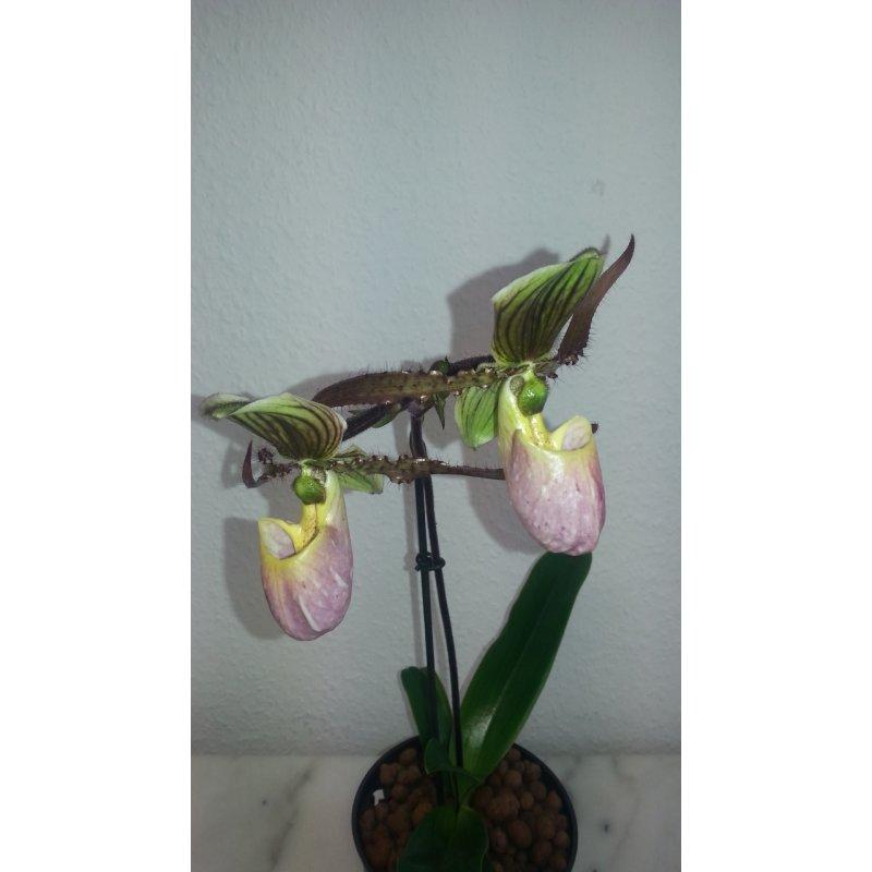 frauenschuh orchidee 13 12 gestreifte rosabraune revolve. Black Bedroom Furniture Sets. Home Design Ideas