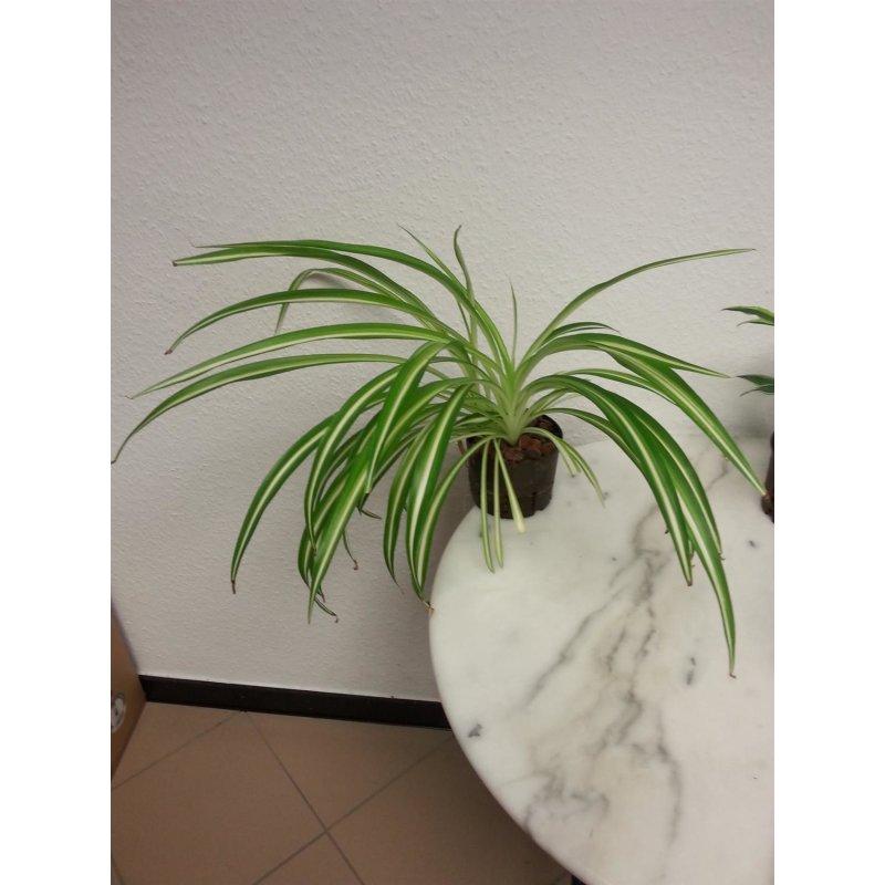 chlorophytum comosum 39 ocean 39 variegatum 11 09 8 95 eu. Black Bedroom Furniture Sets. Home Design Ideas