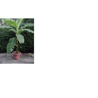 Musa Basjoo Winterharte Banane In 15 Liter Topf 140 160 Cm Hydrok 88 27