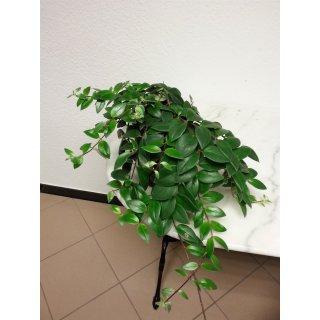Aeschynanthus radicans  ( Ø 13/12 )
